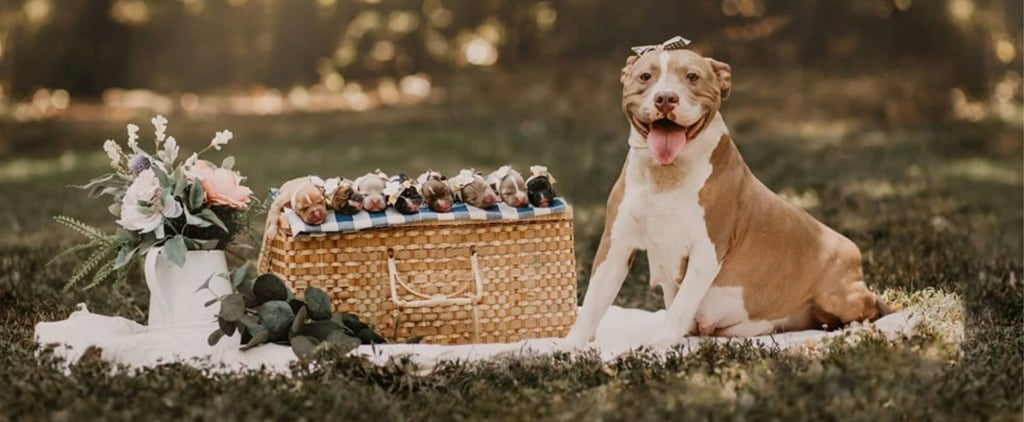 Pit Bull Maternity Shoot Photos