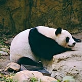 This giant panda, who has been dealing with back issues and this is the only way he can sleep.