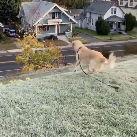 Golden Retriever Sliding Down a Grassy Hill | Video