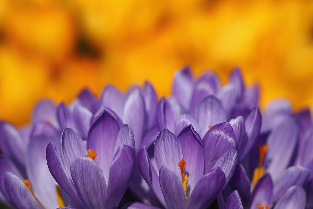 Purple crocuses were blooming in London's Hyde Park.