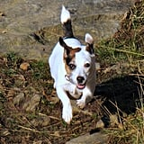 Russell Terrier: Ultimate Working Dog