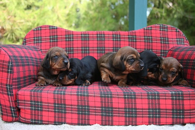 These pups are simply mad for plaid. Source: Flickr user auteur