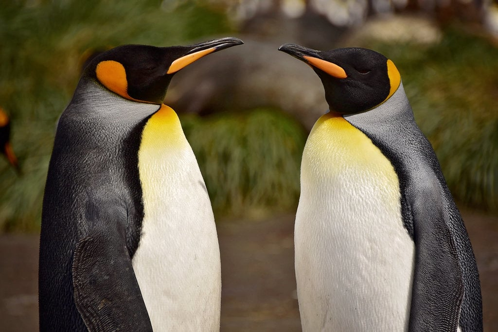 Prepare Yourself: We Have a Whole Lotta Penguins