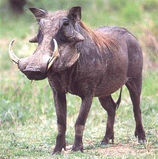 Warthog Emergency!