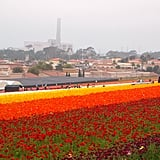 Flower Fields, Carlsbad, California, USA