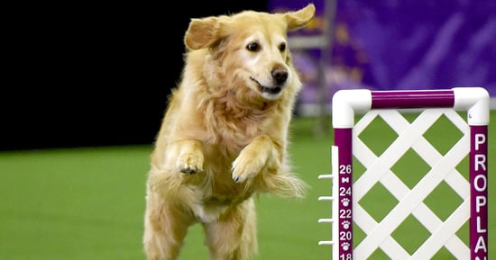 Pet Owners at the Westminster Kennel Club Dog Show Compare Their Pups to Celebrities