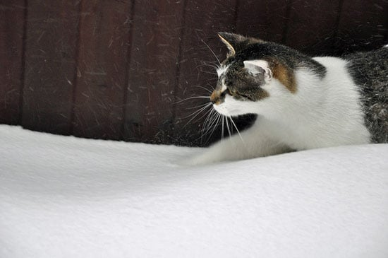 Falling flakes are giving this curious kitty lots to pounce on.  Source: Flickr user !Serendipity