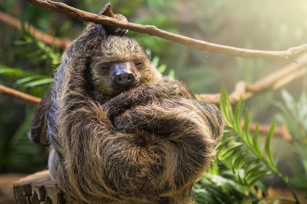 This sloth who isn't afraid to shirk his responsibilities and take a nap.