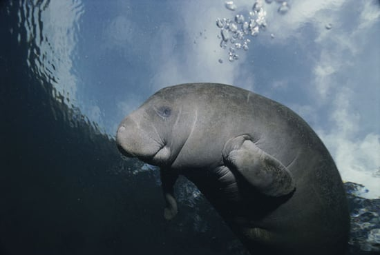 Test Your Knowledge on The Manatee