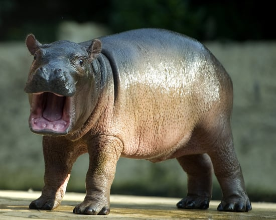 Because they are such reclusive creatures, it's unknown whether pygmy hippos form monogamous pairs, though they do in captivity.