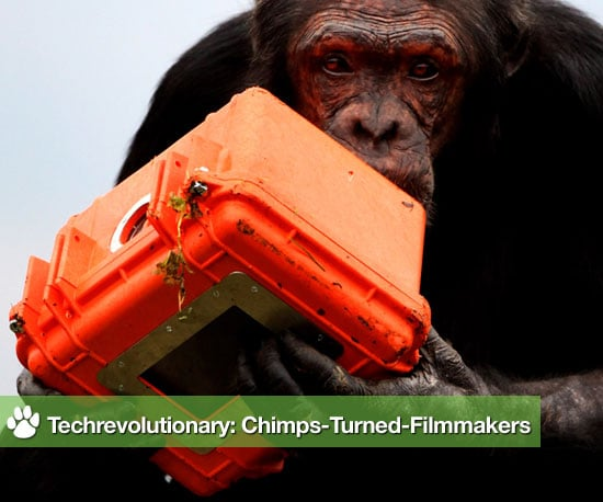 The Chimpcam Project Gives Cameras to Edinburgh Zoo Chimpanzees