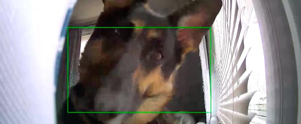 German Shepherd Dog on Security Camera