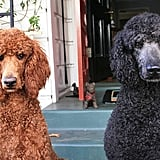 Poodle (Standard, Miniature, and Toy)