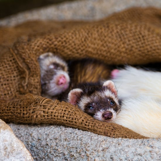 Facts About Ferrets