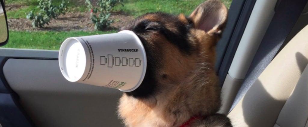 كلب يتناول البوبتشينو في ستاربوكس