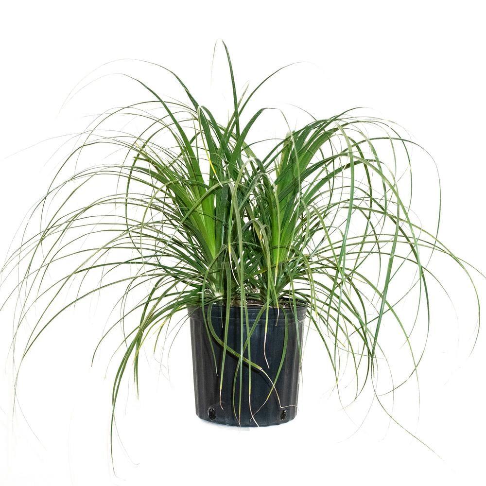 Ponytail Palm Bush Form
