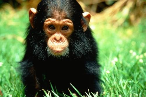 Lil Links: Chimps Are Smarter Than Babies