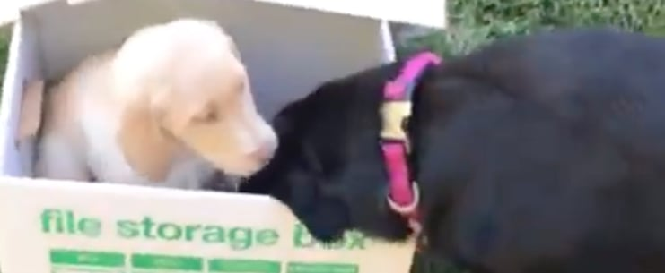 Black Lab Gets a New Puppy