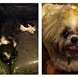 Account Coordinator Alexandra Faivus has three dogs! These are her two Shih Tzus, Benji and Jolie.