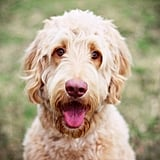 Cute Pictures of Goldendoodles
