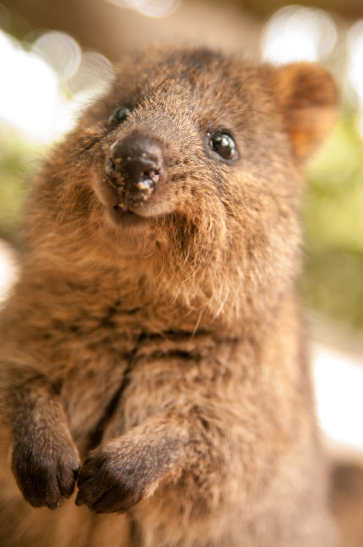 Quokkas are about the size of a domestic cat and extremely ...