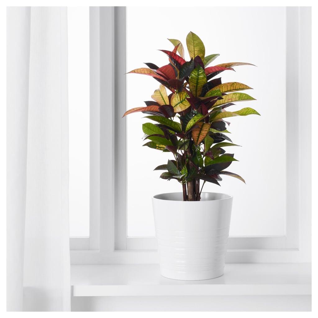 Codiaeum Potted Plant