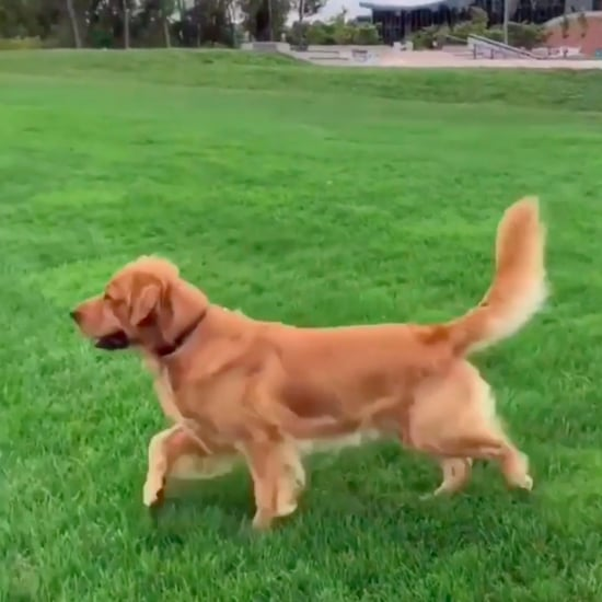 Video of Golden Retriever Running For Grandma at a Park