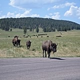 Go to South Dakota's Buffalo Roundup
