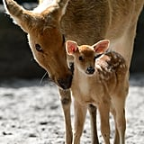 A young Barasingha deer gets his name from the 12 prongs that he will grow as he gets older.