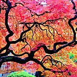 Japanese Maple Tree in Oregon