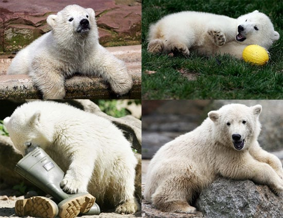 Who's Cuter: Flocke or Knut?