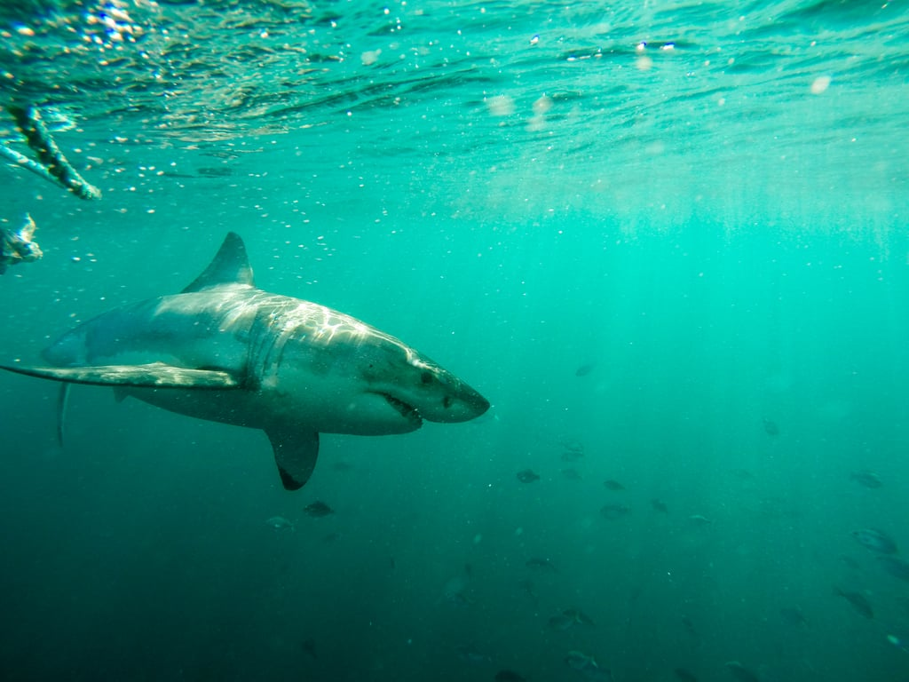 Great White Shark Cage Dive in Cape Town