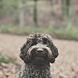 Cute Pictures of Labradoodles