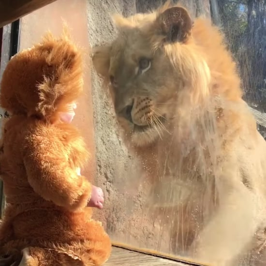 Baby Dressed as a Lion Meets Real Lion Video