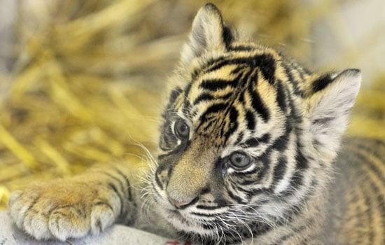 A Sumatran Tiger Named Daseep