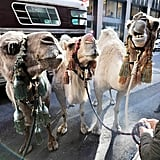 The camels are dressed for success.