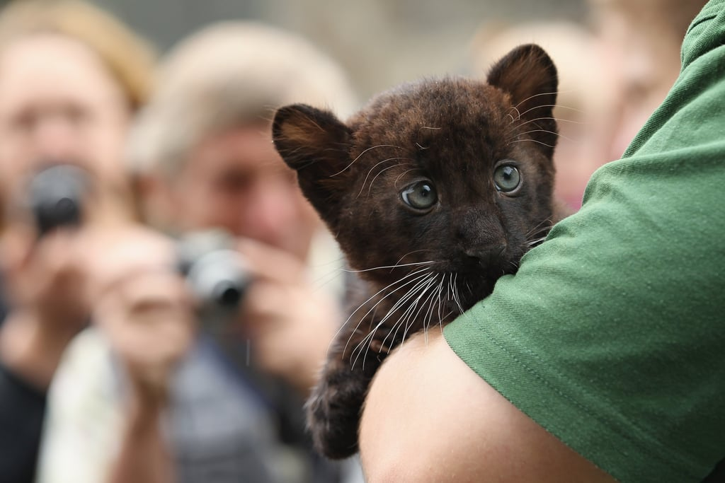 Though black cougars appear in North American folklore, none have ever been photographed or trapped in the wild, so scientists believe they do not exist.