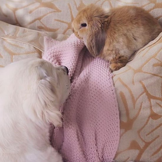See Cute Pictures of a Golden Retriever and Bunny Rabbit