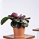 Potted Calathea Medallion Indoor Plant