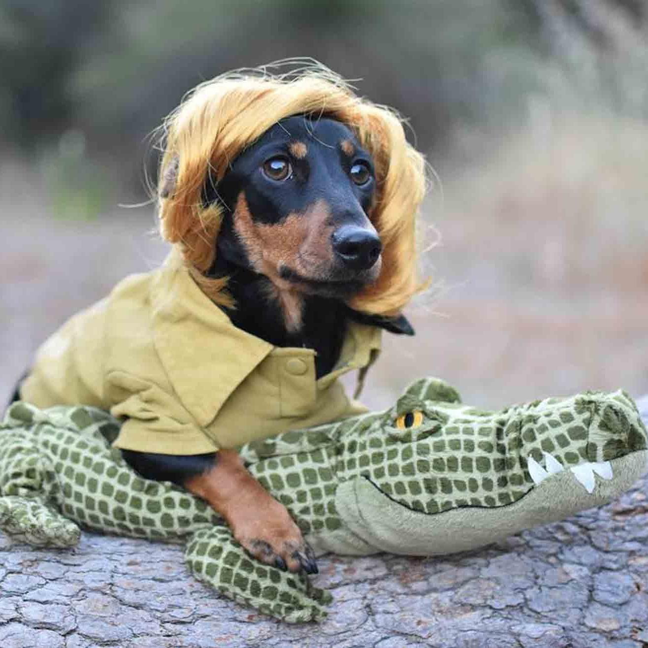 Weiner Dog Halloween Costumes.Photos Of Dachshunds In Halloween Costumes Popsugar Pets