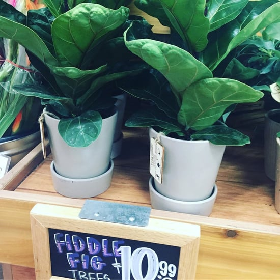 Fiddle Leaf Fig Trees at Trader Joe's