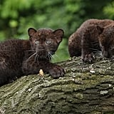 If a black panther parent pairs with a spotted leopard, they can produce either black or spotted cubs. However, since the black allele is dominant, two black panther parents can produce black offspring only.