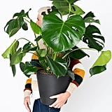 Potted Monstera Indoor Plant