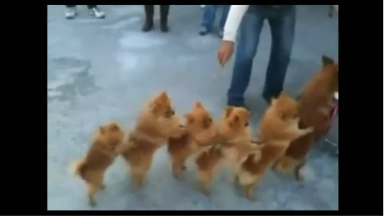 Dog Conga Line Video