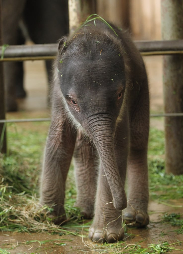 Asian elephants are classified into three subspecies: Sri Lankan, Indian, and Sumatran.