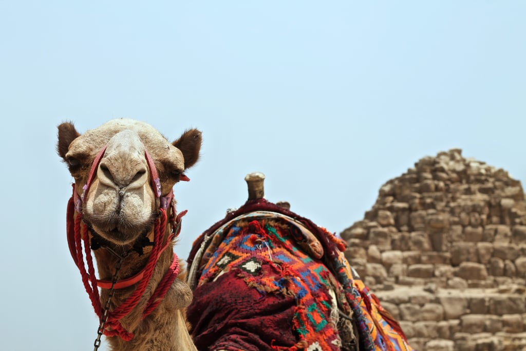 Camels store water in their humps.