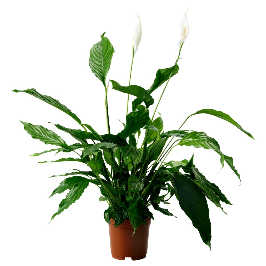 Spathiphyllum Potted Plant