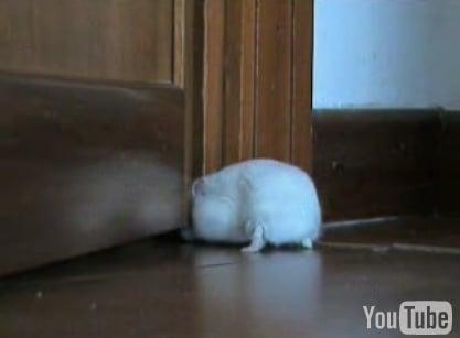 Hamster Tries to Get in Door