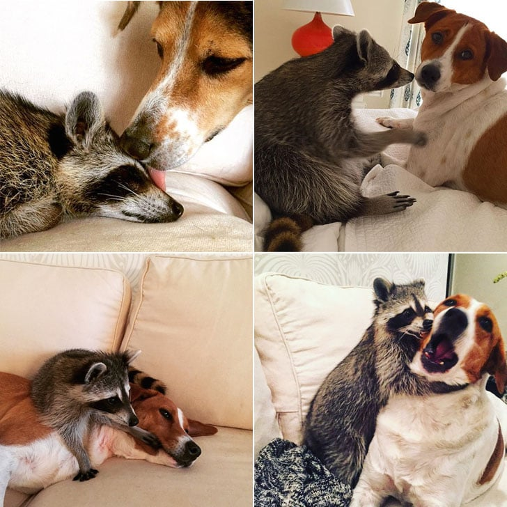 Raccoon That Lives With Dogs | Instagram