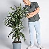 Potted Dracaena Warneckii Indoor Plant